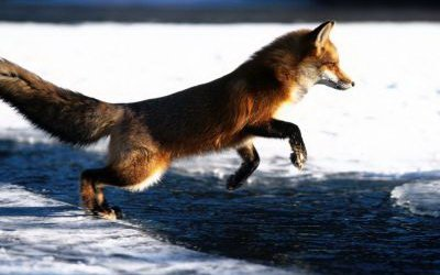 Красные лисицы