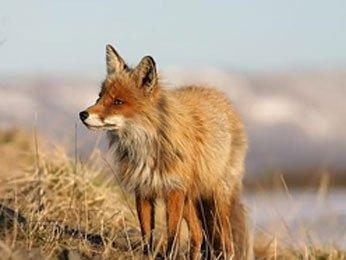 Беременность лисиц